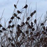 雀が大群で飛ぶ?地震の予兆?鳥は地震が起きてから騒ぎ始める?