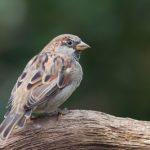 スズメや他の鳥の鳴き声は綺麗?
