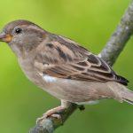 スズメはどの状況で巣から落ちる?巣立ち雛と落巣雛の違い?