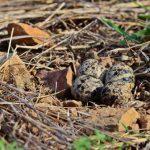 スズメの孵化から巣立ちについて