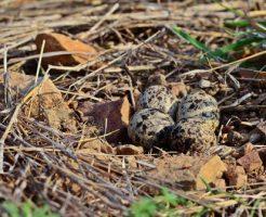 スズメ 孵化 巣立ち