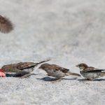 スズメは冬の餌はどうしているの?