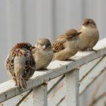 人である夫婦に雀がなつくことはあるのでしょうか?