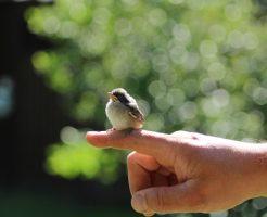 スズメ 孵化 日数