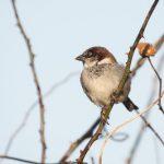 山にも街にもいる身近な鳥スズメについて詳しく知っていますか?