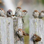 スズメが電線や電信柱に異常なほど大量で止まっているのはなぜ?