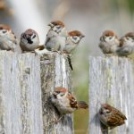 スズメは、なぜ世界的に減少しているのか