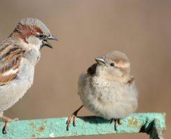 スズメ 益鳥 害鳥