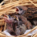 スズメの雛のくちばしは大人のスズメと違いがあるの?