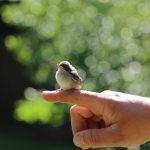 拾った雀の子供。保護の仕方を教えて