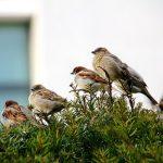 スズメの数は減少していて、天然記念物になってしまうかも?