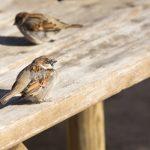 スズメの換羽の時期